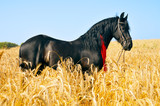Pretty black horse with red ribbon in mane poster