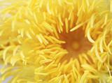 Pyl žlutá lotus