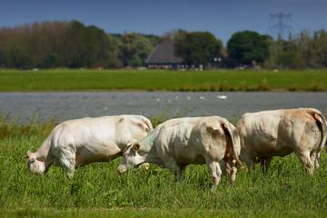 White cows in a Dutch scene