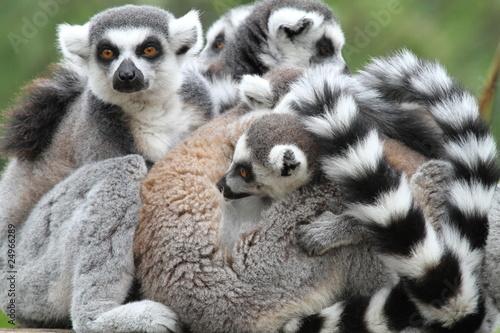 Poster Family of Ring-Tailed Lemurs