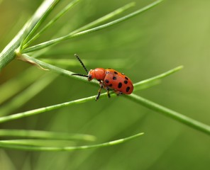 red bug