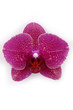 Macro of a beautiful pink orchid (Phalaenopsis) isolated