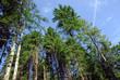 conifere alberi 1114
