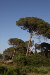 Pino mediterraneo en el coto de Doñana