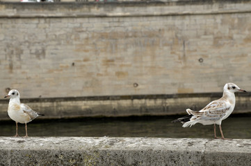 A couple of paris gulls