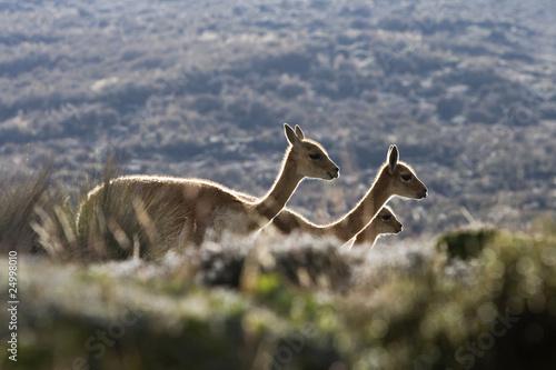 Foto op Canvas Lama vigognes 051