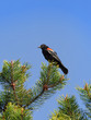 Red-winged blackbird on top of a tree