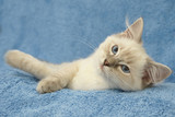 kitten on blue background