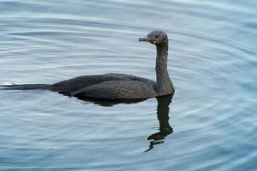 Pelagic cormorant swimming in the sea
