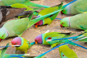 Mixed flock of parakeets feeding on ground