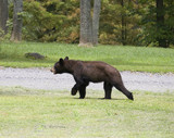 Daytime bear poster
