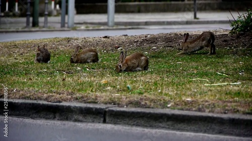 Group of Bunnies Feeding off Gras