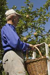 l'escabeau pour cueillir des pommes