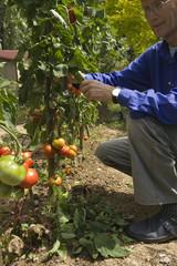 Les grappes de tomates