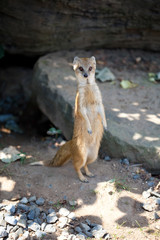 yellow mongoose sitting on the sand
