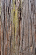 Bark of giant sequoia tree