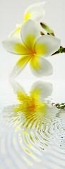 reflets de fleurs de frangipanier