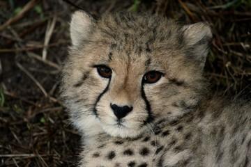 Baby Cheetah Portrait © Duncan Noakes