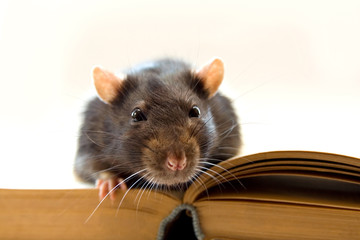 Home rat on the book