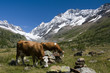 cows in the Switzerland mountains