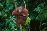 Young Orangutan on the tree