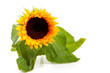 beautiful sunflower over white background