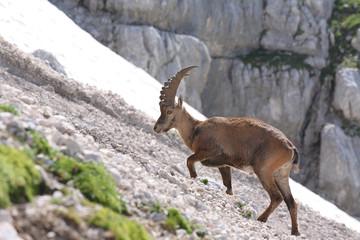 Alpine ibex (Capra ibex), young buck.