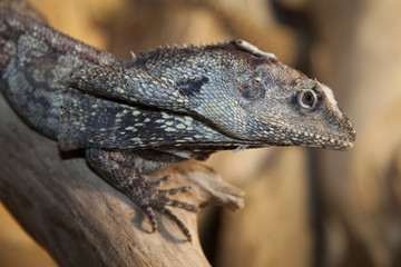 Frilled Lizard _MG_3424