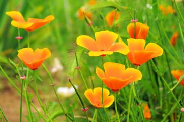 Kalifornischer Mohn - California poppy 29