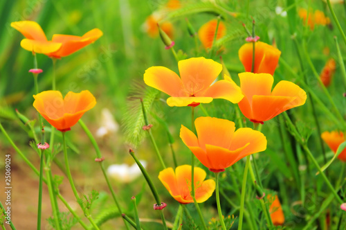 Kalifornischer Mohn - California poppy 29