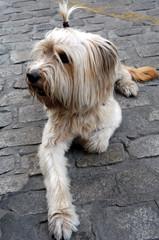 Perro con lazo en el pelo