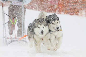 dogs sled in snowfall