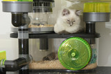 ragdoll kitten on hamster cage