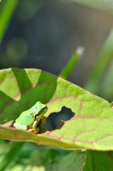 葉っぱにとまるアマガエル