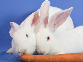 Two white rabbits on a blue background