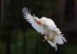 chicken in flight