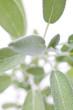 Salbei (Salvia officinalis)  - Trieb ganz nahe