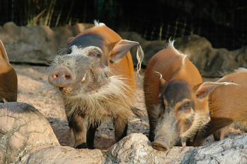 Red River Hog smiled