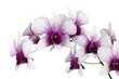 Fototapeten,cymbidium,orchid,lila,lila