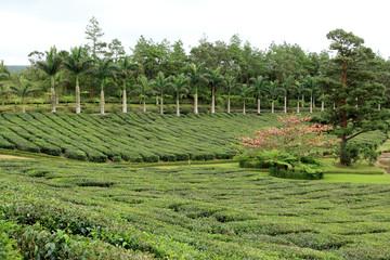 plantation de théiers, Bois Chéri, île Maurice
