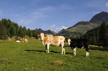 The cows on meadow