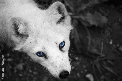 Arctic fox with blue eyes quot stock photo and royalty free images on