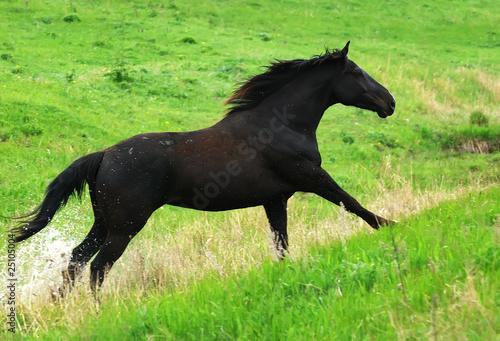 beautiful black horse running gallop on pasture