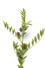 Suessholz; Glycyrrhiza glabra