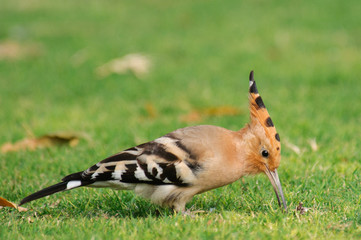 Common Hoopoe Upupa epops