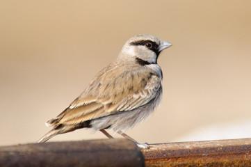 Ashy-crowned Sparrow Lark Eremopterix grisea