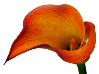 one orange calla lily isolated on white
