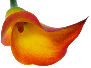orange calla lily isolated on white
