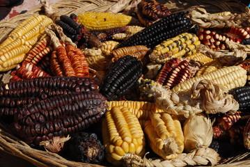Epis de maïs de toutes les couleurs