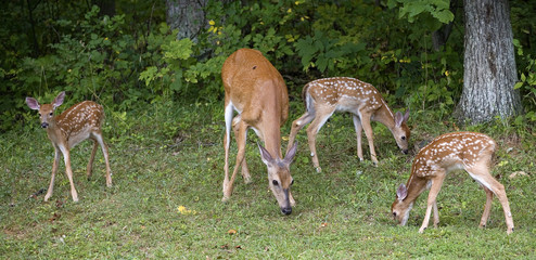 Deer doe with triplets